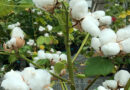 cotton-bulbs-oct21