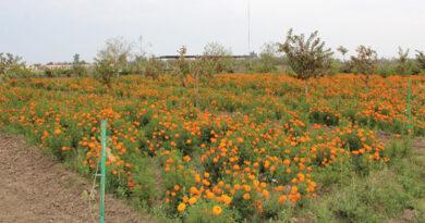 genda-flower1