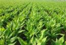 turmeric-farming1