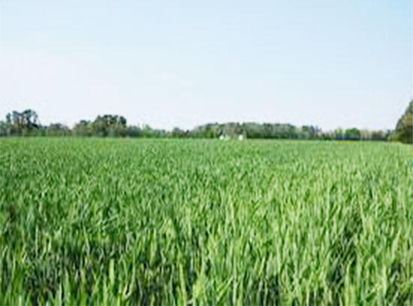 wheat-cop111