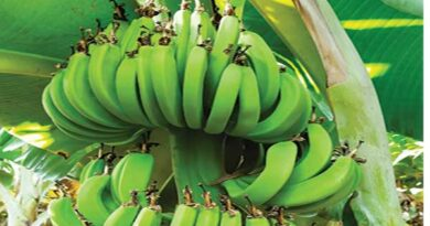 रथम सफल केला उत्पादक किसानों की कहानी