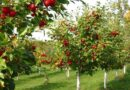 हरियाणा सरकार नए बाग लगाने पर किसानों को प्रति हेक्टेयर 50 प्रतिशत तक अनुदान दे रही है