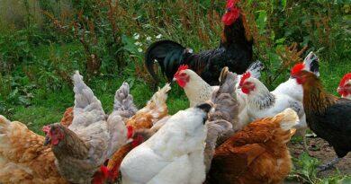 घर के पिछवाड़े मुर्गी पालन से अधिक लाभ