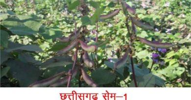 रायपुर कृषि विश्वविद्यालय विकसित सब्जियों की छह नई किस्मों को मिली मंजूरी