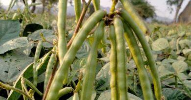 पश्चिम निमाड़ में ग्रीष्मकालीन मूंग के अच्छे उत्पादन से किसान खुश