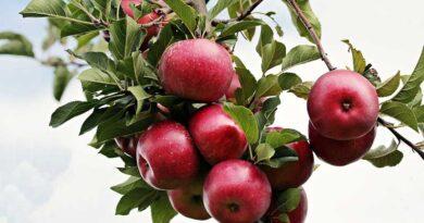 पंजाब की फल मंडियों में बनेंगे राईपनिंग चेम्बर