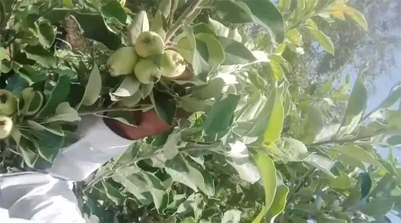 सारंगी में समय से पहले सेब का फलोत्पादन