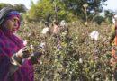 खेतों में सफेद सोना, किसानों को बना रहा आत्मनिर्भर