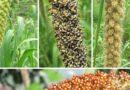 लघु धान्यों की विकसित जातियां कौन-कौनसी हंै अच्छा बीज कहां मिलेगा।
