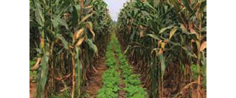 अंतरवर्तीय  फसल की बुआई करना किसानों के लिये रहेगा फायदेमंद