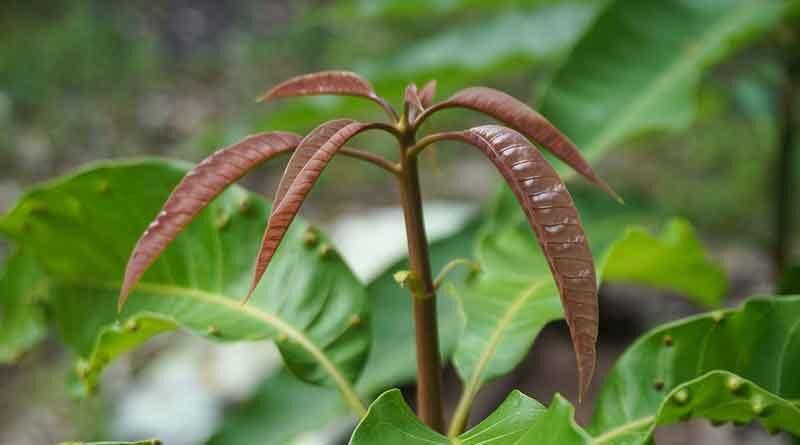 मेरे पास आम, अमरूद, संतरा, नींबू तथा आंवले के पौधे से उनका रोपण खेत में कैसे करें, बतायें