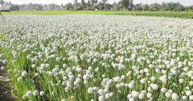 हरियाणा में प्याज की खेती पर 8,000 रूपए प्रति एकड़ अनुदान