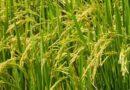 krishakjagat Attachments3:38 PM (3 hours ago) to me, Ajay, Nimish छत्तीसगढ़ समाचार किसान अब 31 जुलाई तक करा सकेंगे खरीफ फसलों का बीमा