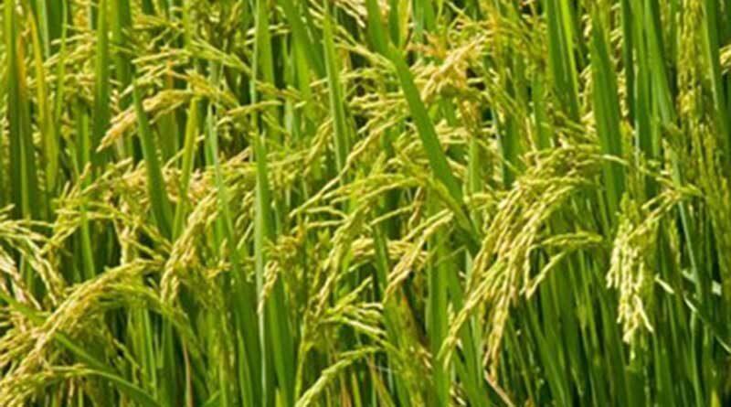 किसान अब 31 जुलाई तक करा सकेंगे खरीफ फसलों का बीमा