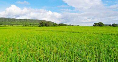 एमएसपी खरीदी के अनुसार धान किस्मों का चयन करें किसान