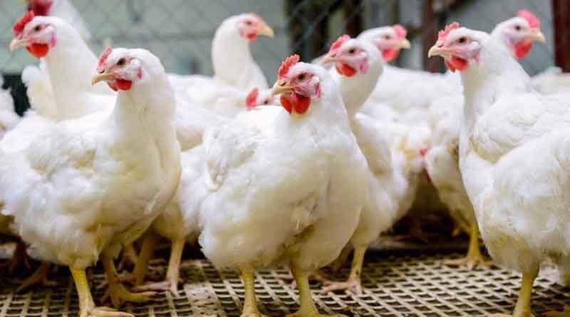 मुर्गियों का अधिक उत्पादन प्राप्त करने के लिये गर्मी से बचाव