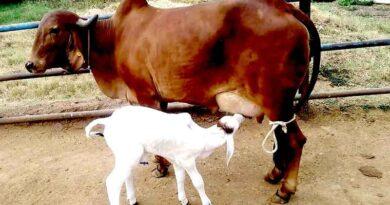 गिर, साहीवाल, थारपारकर गाय अब 47 करोड़ रुपए की प्रयोगशाला में पैदा होंगी