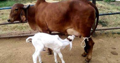 गिर गाय दे रही थारपारकर बछड़े को जन्म