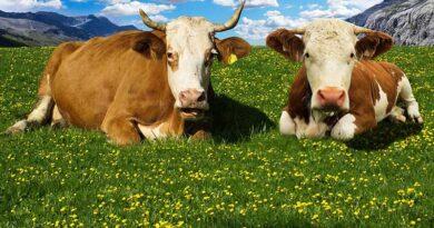 पशुओं में टीकाकरण किया गया