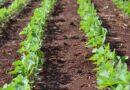 खरीफ फसलों की बुवाई अभी तक 5 करोड़ हेक्टेयर में हुई ,तिलहनी फसलों का रकबा बढ़ा