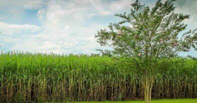 गन्ने की आदर्श खेती वाले कृषक बनेंगे उत्तम गन्ना कृषक
