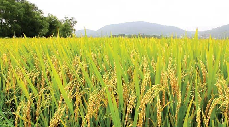 किसानों को धान बिक्री के लिए करना होगा पंजीयन