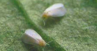 टमाटर में कीट-रोग की रोकथाम