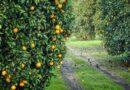 फल बगीचे लगाने से पूर्व जरूरी कार्य