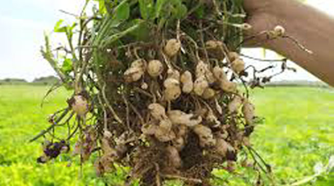 मूंगफली में कीट-रोग प्रबंधन