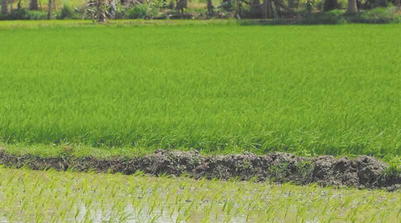 राज्य में खरीफ फसलों की बुआई 45 लाख हेक्टेयर पार
