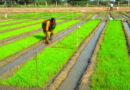धान की सघनीकरण पद्धति 'एसआरआई'