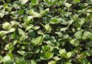 देश में दलहनी फसलों की बुवाई बढ़ी