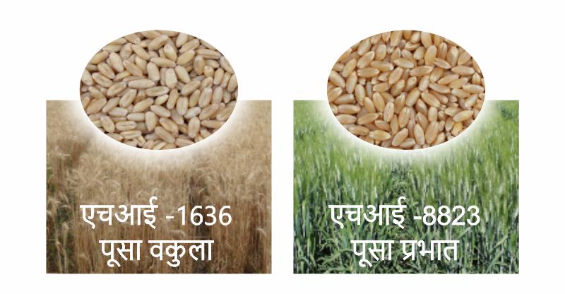 गेहूं अनुसन्धान केंद्र इंदौर द्वारा विकसित गेहूं की दो नई किस्में पूसा प्रभात और पूसा वकुला जारी